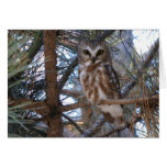 Northern Saw-Whet Owl in Pine Tree Card