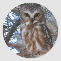 Northern Saw-Whet Owl in Pine Tree Classic Round Sticker