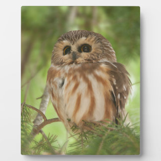 Northern Saw-whet Owl Plaques