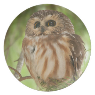 Northern Saw-whet Owl Party Plates