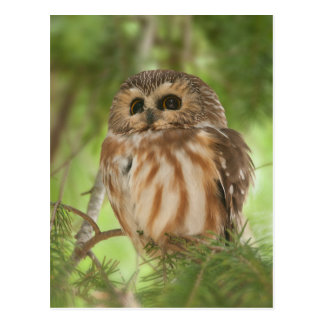 Northern Saw-whet Owl Postcard