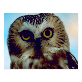 Northern Saw Whet Owl Postcard