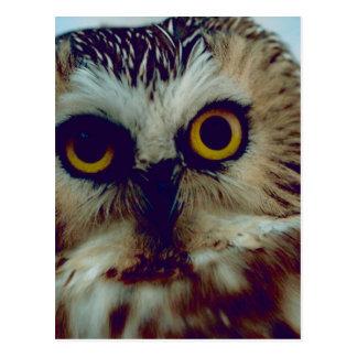 Northern Saw-whet owl Postcard