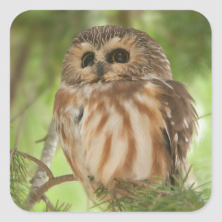 Northern Saw-whet Owl Stickers
