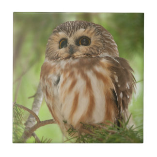 Northern Saw-whet Owl Tiles