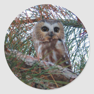 Northern Saw-Whet Owl with Huge Eyes Classic Round Sticker
