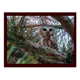 Northern Saw-Whet Owl with Huge Eyes Postcard