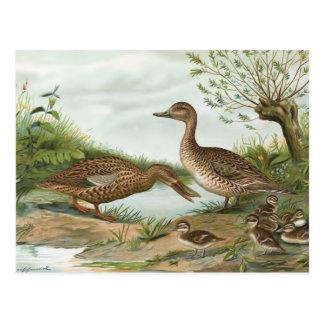 Northern Shoveler and Northern Pintail Ducks Postcard