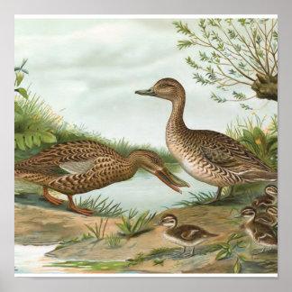 Northern Shoveler and Northern Pintail Ducks Print
