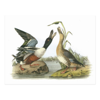 Northern Shoveler by Audubon Postcard