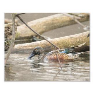 Northern Shoveler Duck Along Shore Photography Photo Print