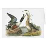 Northern Shoveler, John Audubon Card