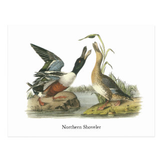 Northern Shoveler, John Audubon Postcard