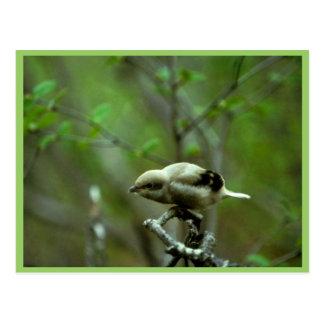 Northern Shrike Postcard