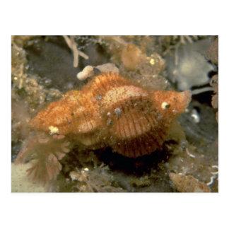 Northern siphon whelk (Penion adusta) Shell Postcard