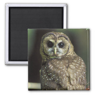 Northern Spotted Owl 2 Inch Square Magnet