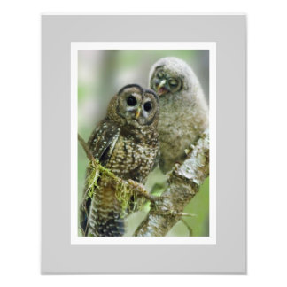 Northern Spotted Owl (Strix occidentalis)  11 x 14 Photo Print