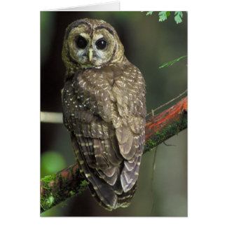 Northern Spotted Owl - Strix occidentalis caurina Card