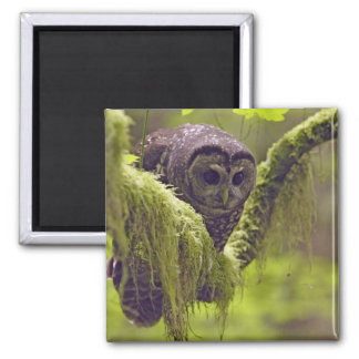 Northern Spotted Owl Strix occidentals 2 Inch Square Magnet