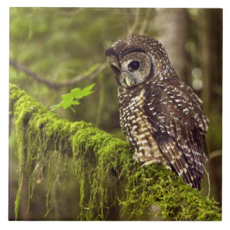 Northern Spotted Owl (Strix occidentals caurina) Ceramic Tile