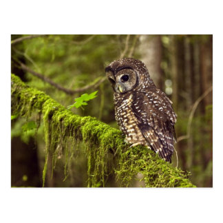 Northern Spotted Owl (Strix occidentals caurina) Postcard