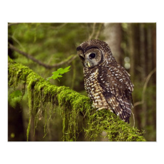 Northern Spotted Owl (Strix occidentals caurina) Poster