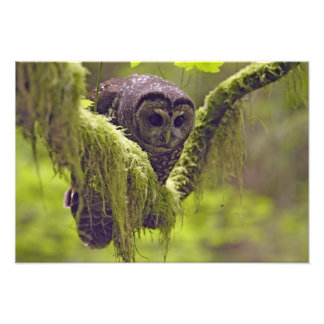 Northern Spotted Owl Strix occidentals Art Photo
