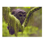 Northern Spotted Owl Strix occidentals Postcard