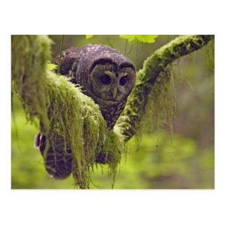 Northern Spotted Owl Strix occidentals Postcard