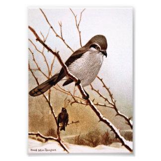 Northern Strike Bird Photograph