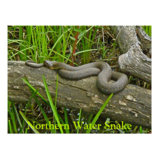 Northern Water Snake Basking on Log Multiple Items Poster