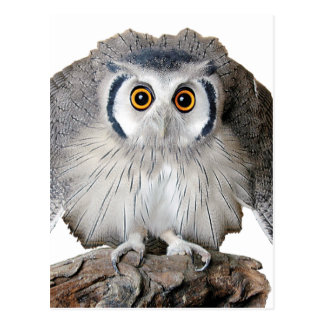 """""""Northern White-faced Owl"""" Postcard"""