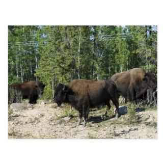 Northwest Territories. Wood Buffalo National Postcard