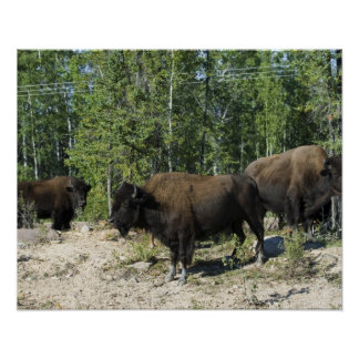 Northwest Territories. Wood Buffalo National Poster