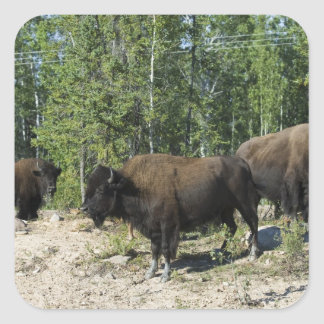 Northwest Territories. Wood Buffalo National Square Sticker
