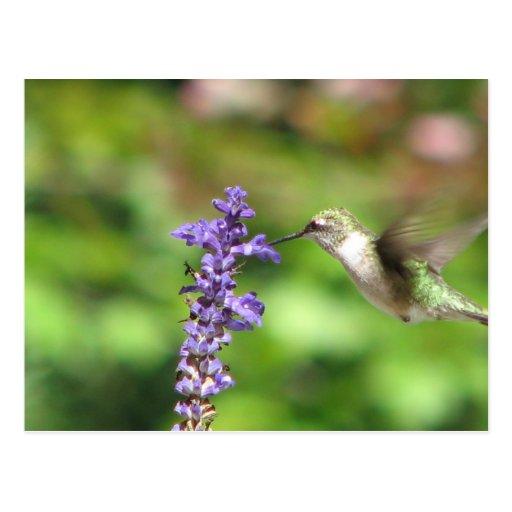 Northwood's Hummingbird Postcard