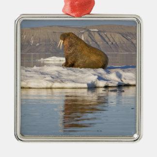 Noruega, Svalbard, isla de Edgeoya, morsa Ornato