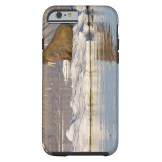 Noruega, Svalbard, isla de Edgeoya, morsa Funda Para iPhone 6 Tough