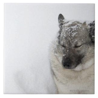 Noruego Elkhound Azulejo Cuadrado Grande