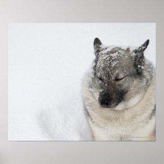 Noruego Elkhound Póster