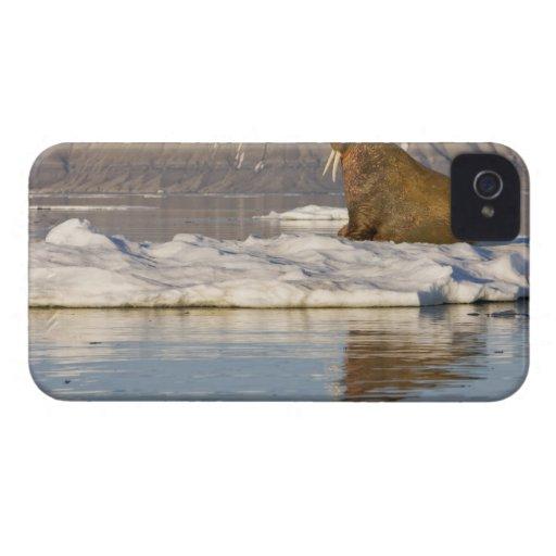 Norway, Svalbard, Edgeoya Island, Walrus Blackberry Case