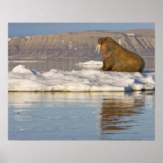 Norway, Svalbard, Edgeoya Island, Walrus Poster