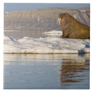 Norway, Svalbard, Edgeoya Island, Walrus Tile