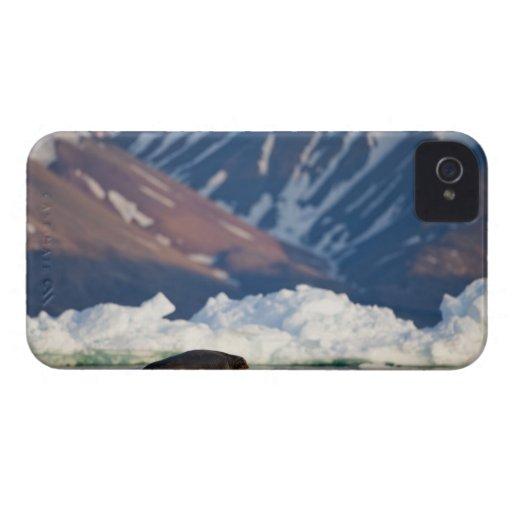 Norway, Svalbard, Spitsbergen Island, Bearded 2 Blackberry Bold Covers