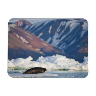 Norway, Svalbard, Spitsbergen Island, Bearded 2 Magnet