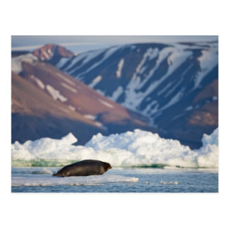 Norway, Svalbard, Spitsbergen Island, Bearded 2 Postcard