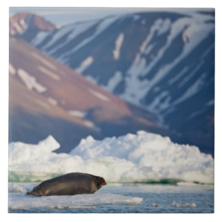 Norway, Svalbard, Spitsbergen Island, Bearded 2 Tile