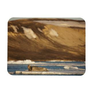 Norway, Svalbard, Spitsbergen Island, Bearded Magnet
