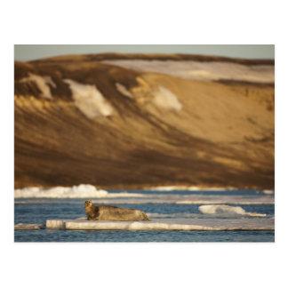Norway, Svalbard, Spitsbergen Island, Bearded Postcard