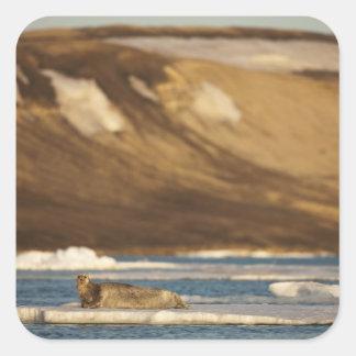 Norway, Svalbard, Spitsbergen Island, Bearded Square Sticker